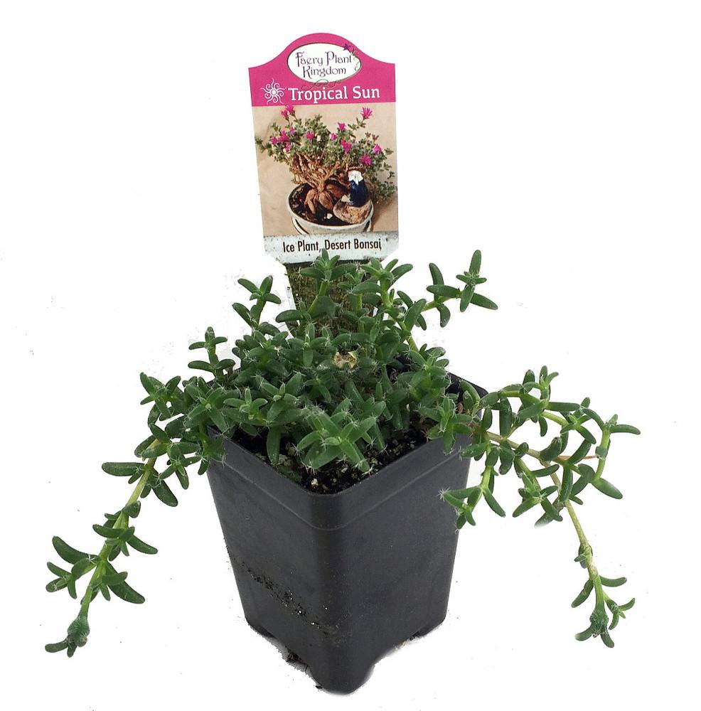 "Desert Bonsai Ice Plant - Trichodiadema - House Plant or Fairy Garden - 2.5"" Pot"