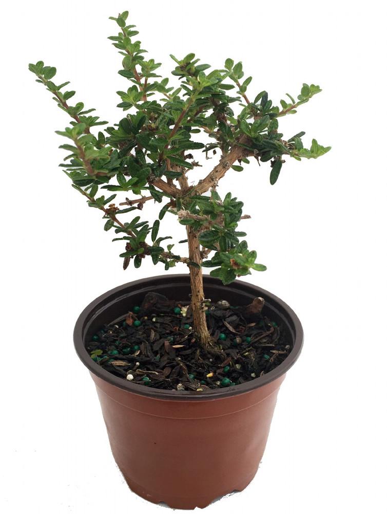 "Bahama Berry - Mounjean Tea - Nashia inaguensis - 4"" Pot - Herbal Tea"