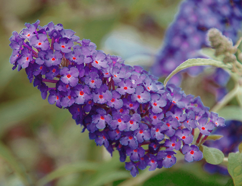 BUZZ™ Purple Butterfly Bush - Compact/Short - Heavy Blooms -Gallon Pot- Buddleia