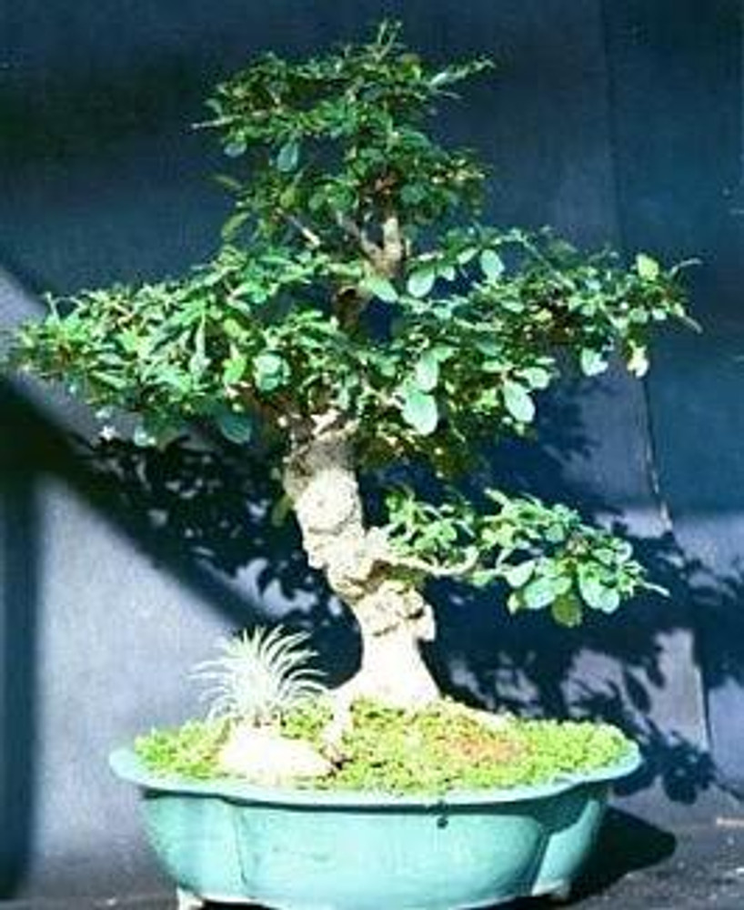 Fukien Tea Bonsai Tree Carmona 4 Pot Indoor Houseplant Hirt S Gardens