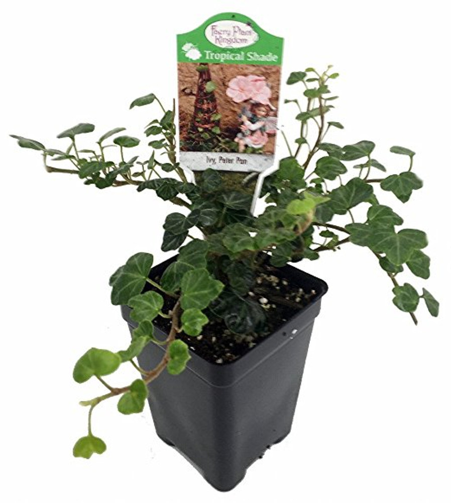 "Peter Pan English Ivy - 2.5"" Pot - Terrarium/Fairy Garden/House Plant"