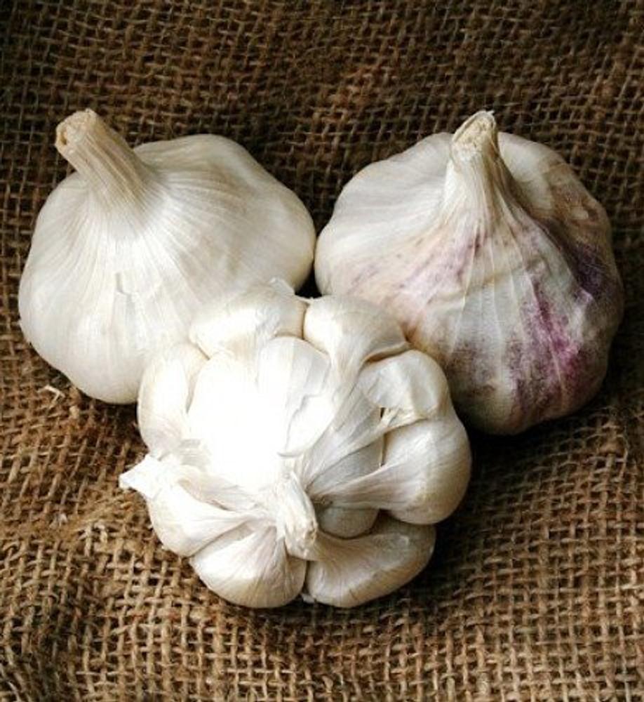 Early Italian Purple Garlic Bulbs - 3 Bulbs