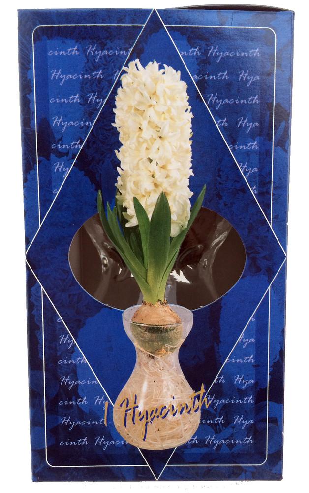 Clear Glass Hyacinth Vase + White Hyacinth Bulb
