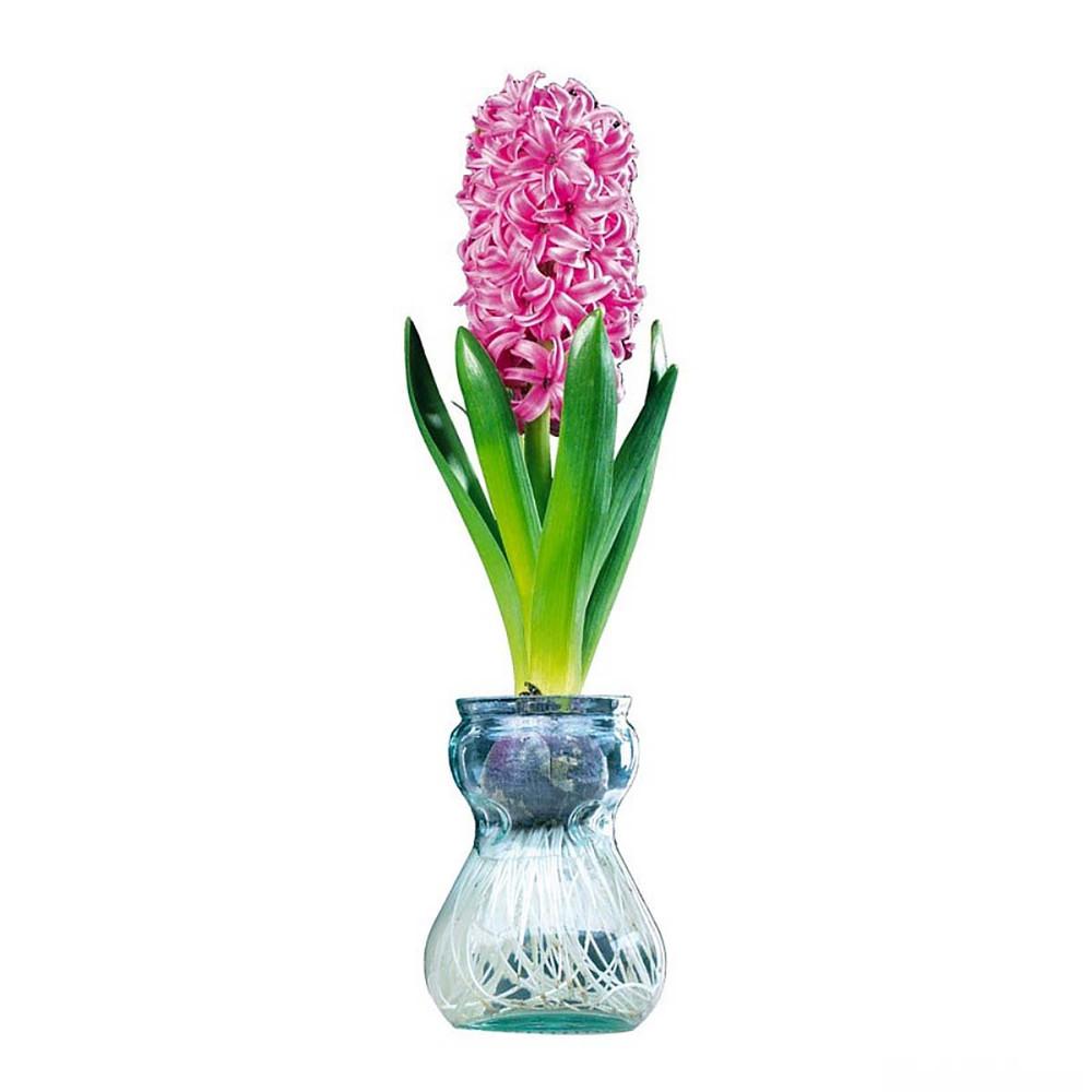 Clear Glass Hyacinth Vase + Pink Hyacinth Bulb