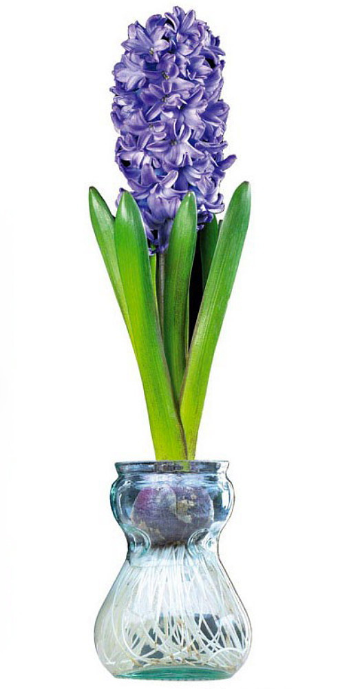 Clear Glass Hyacinth Vase + Blue Hyacinth Bulb