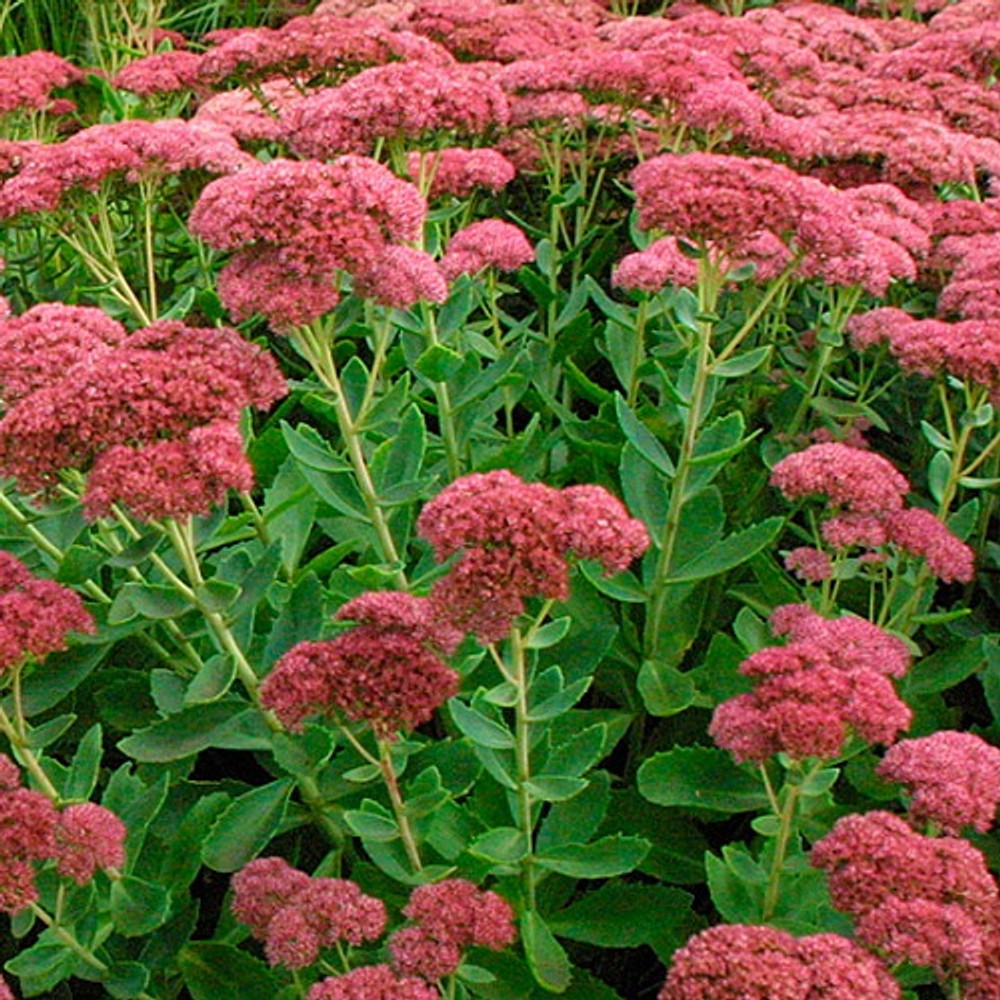 Autumn Joy Stonecrop Perennial -  Quart Pot