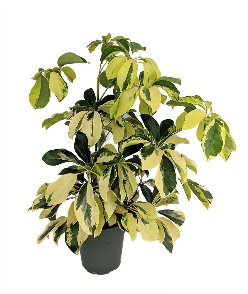 "Gold & Green Hawaiian Schefflera Plant - Great Indoors - 6"" Pot"