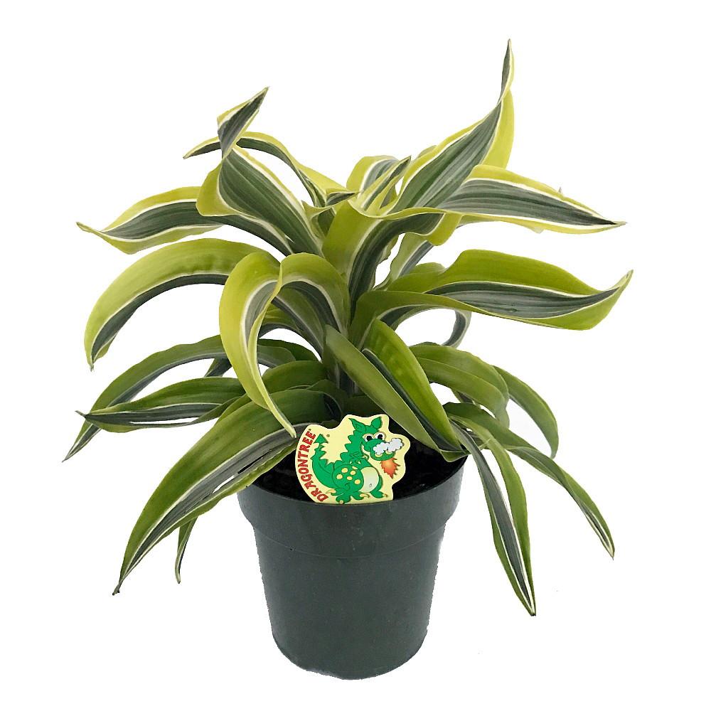 "Lemon Surprise Madagascar Dragon Tree-Dracaena- 6"" Pot- Easy to Grow House Plant"