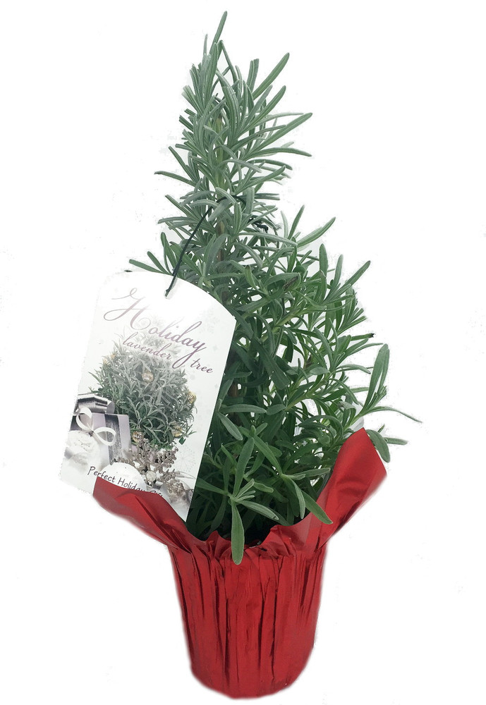 "Holiday Lavender Herb Tree - 4"" Pot with Decorative Pot Cover & Gift Tag"