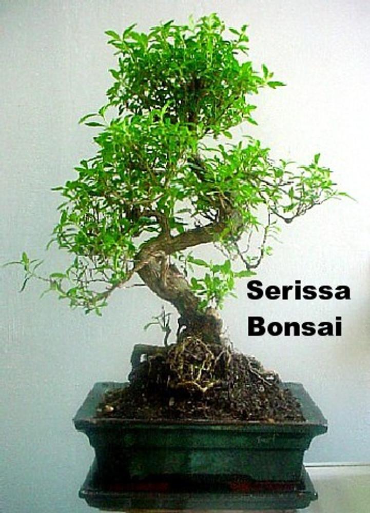 Kyoto Snowrose Serissa Tree 2 5 Pot House Plant Fairy Garden Plant Bonsai Hirt S Gardens