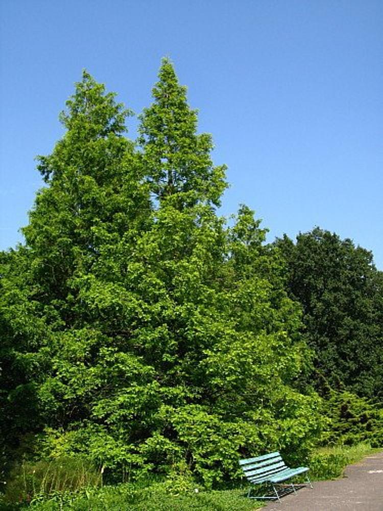 "Dawn Redwood Tree - Metasequioia - Living Fossil - 4"" Pot"