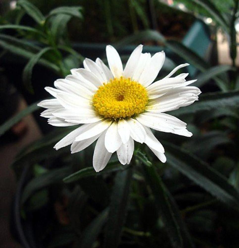 Alaska Shasta Daisy - Leucanthemum - Huge Flowers - Quart Pot