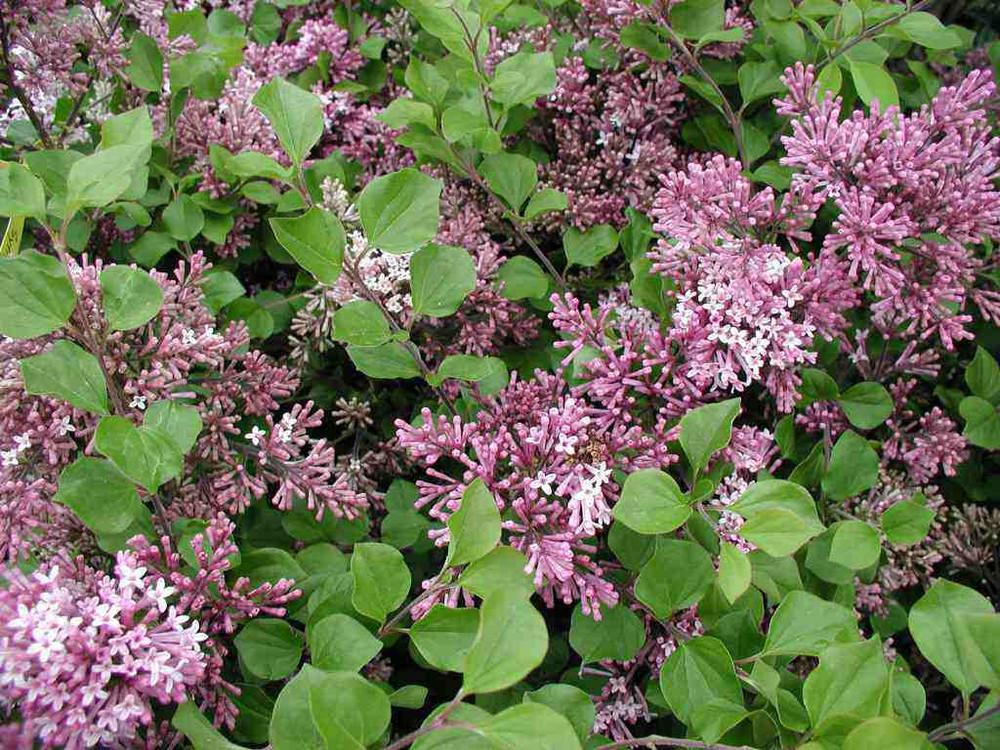 "Dwarf Korean Lilac - 4"" pot - Syringa meyeri - Palibin"