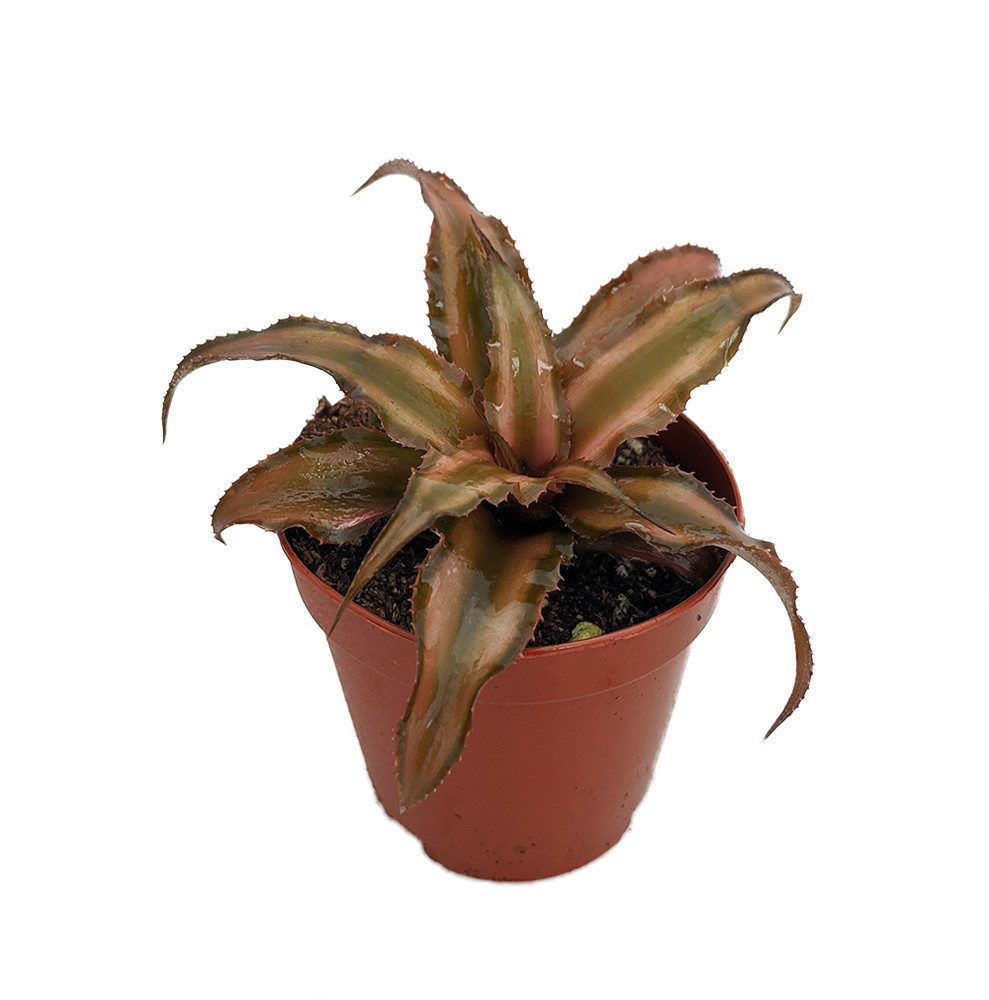 "Bronze Earth Star Plant - Cryptanthus - Easy to Grow - 2"" Pots 2 Pack"