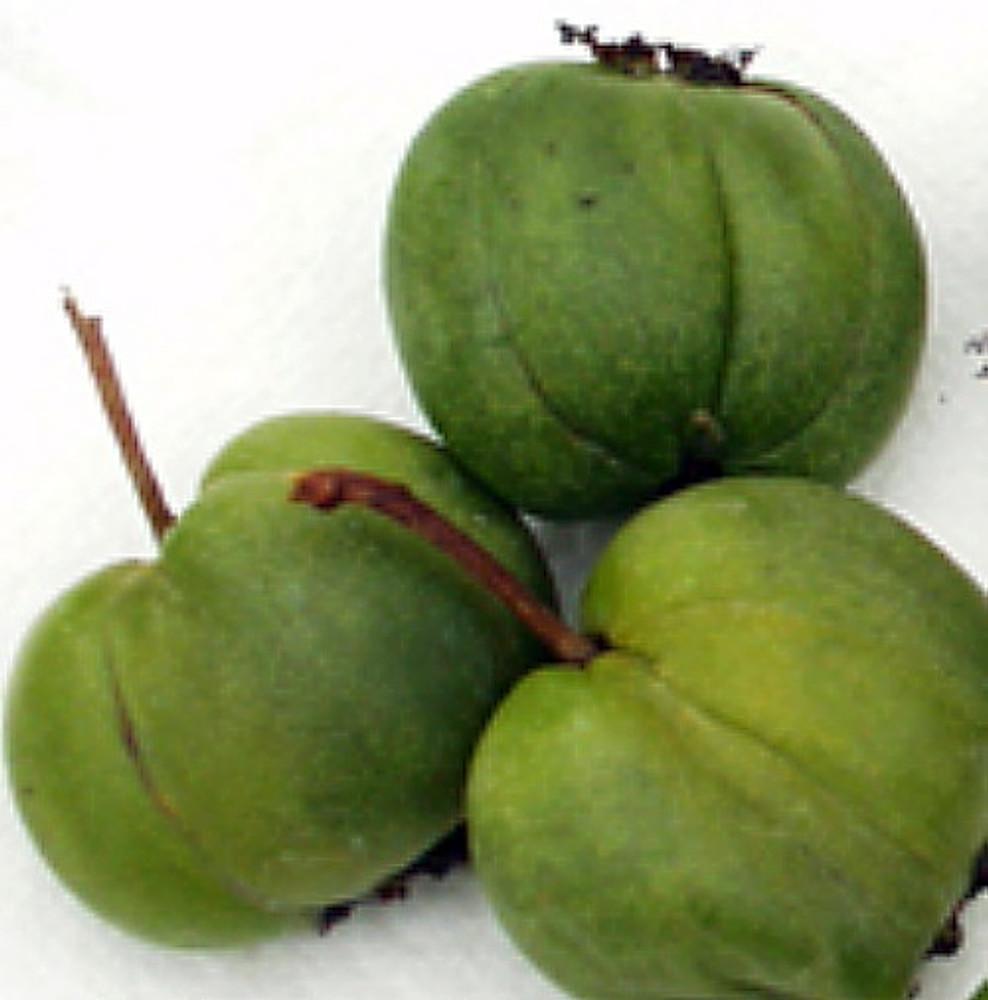 """Hardy Chang Bai Kiwi Plant - Actinidia - FEMALE - Large Fruit - 2.5"""" Pot"""