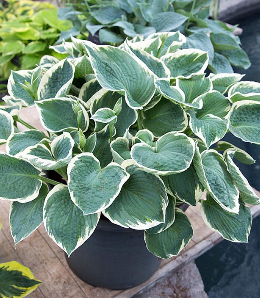 Barbara Ann Hosta - Shade Perennial - Quart Pot