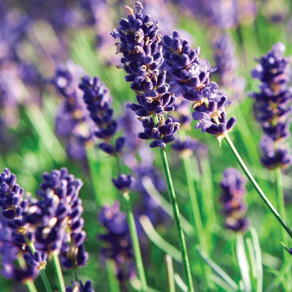 Munstead Lavender Herb - Perennial - Relaxing - Live Plant - Quart Pot