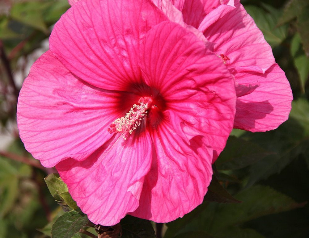 Brandy Punch Giant Hibiscus Rose Mallow Perennial - Live Plant - Gallon Pot