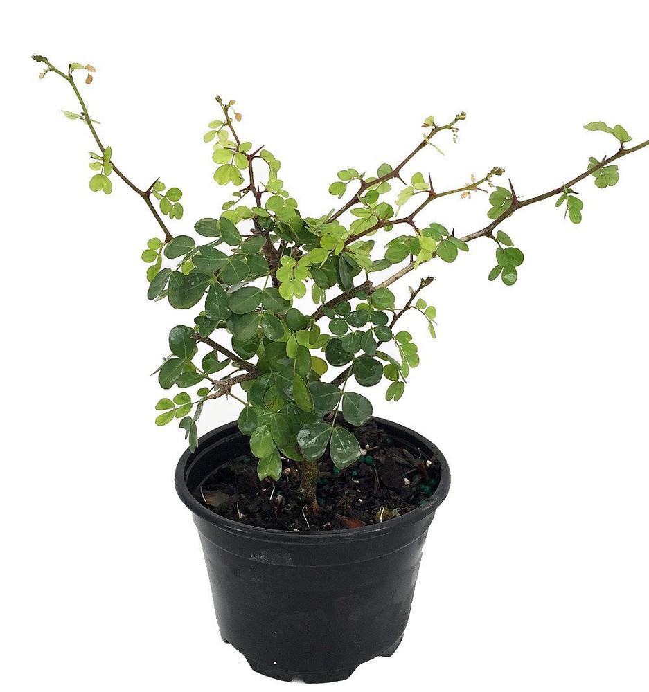 "Bloodwood Tree - Logwood Tree - Campeche - Haematoxylum campechianum - 4"" Pot"