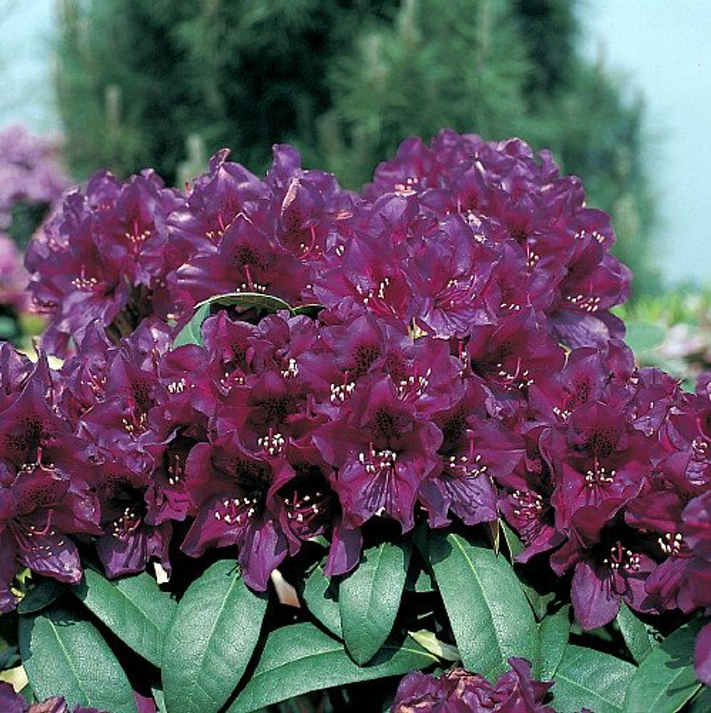 "Polar Night (Polarnacht) Rhododendron - Almost Black! - 4"" Pot"