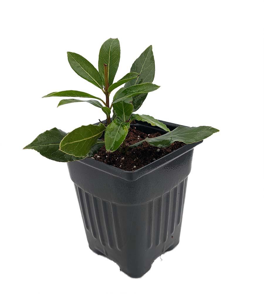 "Ohio Grown Sweet Bay Laurel Herb - Laurus nobilis- 4""  Pot"