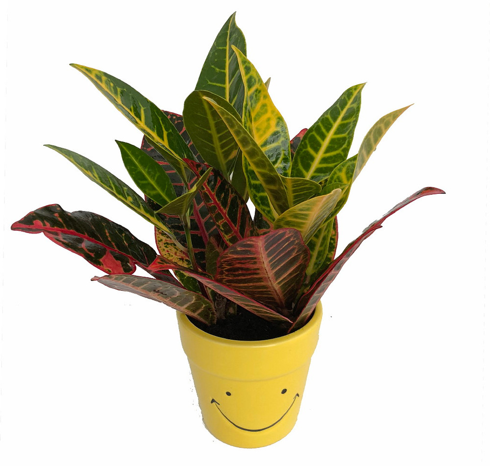 "Happy Face Ceramic Pot with a Live Colorful Croton Plant - 3.75"" x 4"""