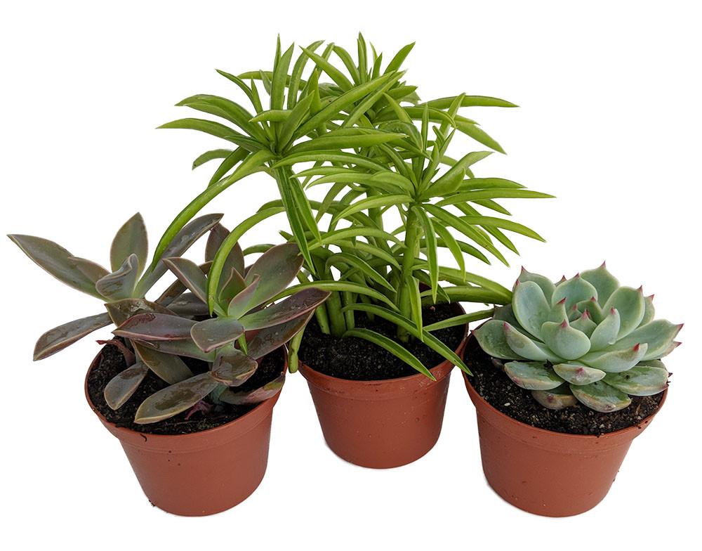 "3 Different Succulent Plants - Easy to grow - Low Maintenance - 3"" Pots"