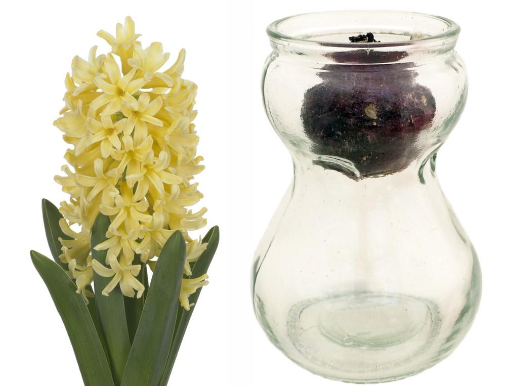 Clear Glass Hyacinth Vase + Yellow Hyacinth Bulb