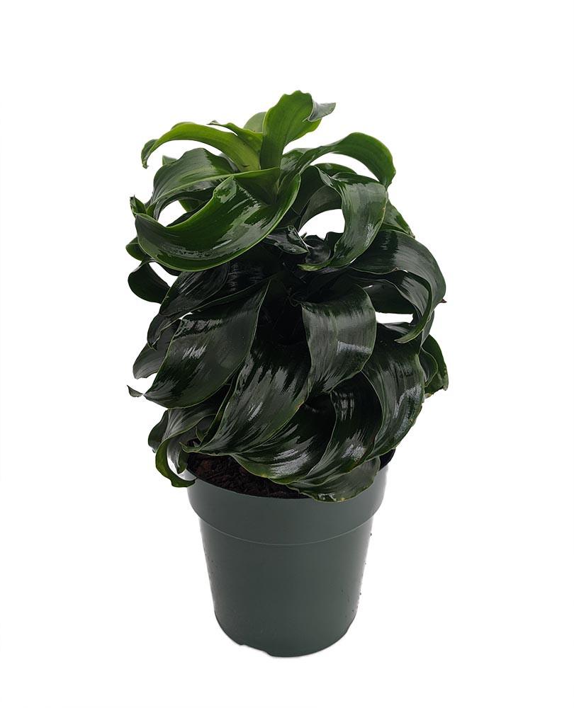 "Twister Dragon Tree - Dracaena fragrans - 6"" Pot - Easy to Grow House Plant"