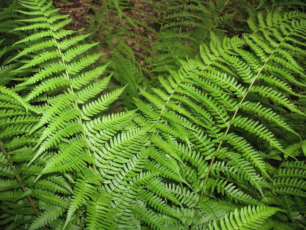 Dixie Wood Fern - Dryopteris x australis - Gallon Pot
