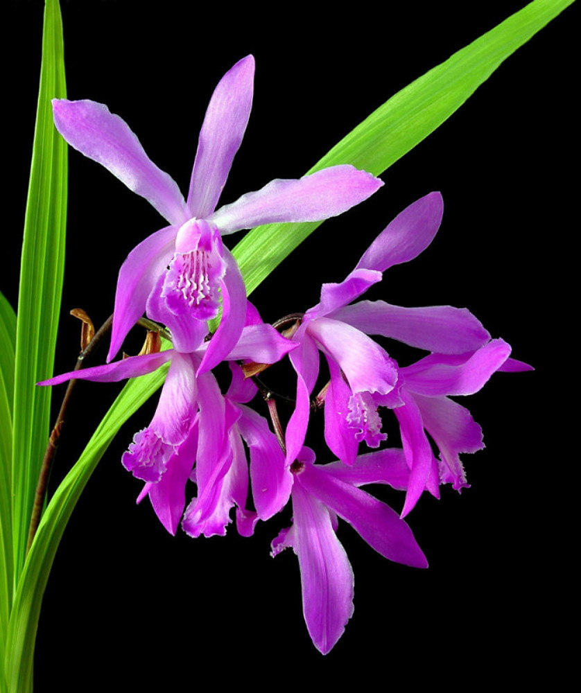 "Big Bob Hardy Chinese Orchid - Bletilla - 2.5"" Pot"
