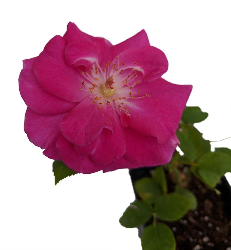 "Brindabella Purple Prince Shrub Rose-One of the World's Most Fragrant - 4"" Pot"