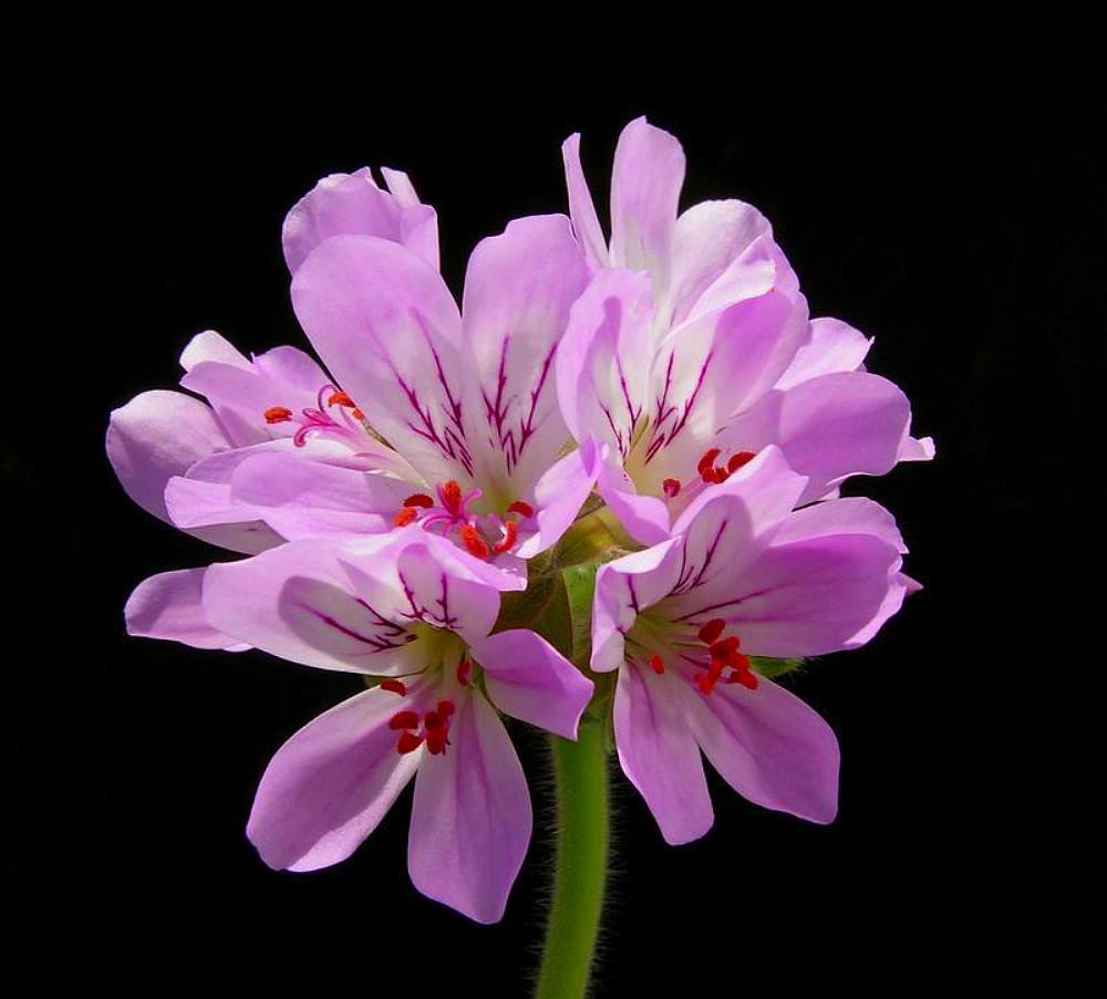 Attar of Roses Scented Leaf Geranium - Rose Fragrance -Live Plant - Quart Pot