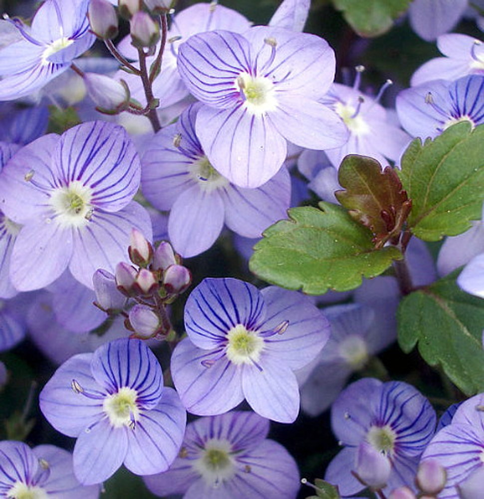 Waterperry Blue Veronica - Creeping Speedwell - Quart  Pot