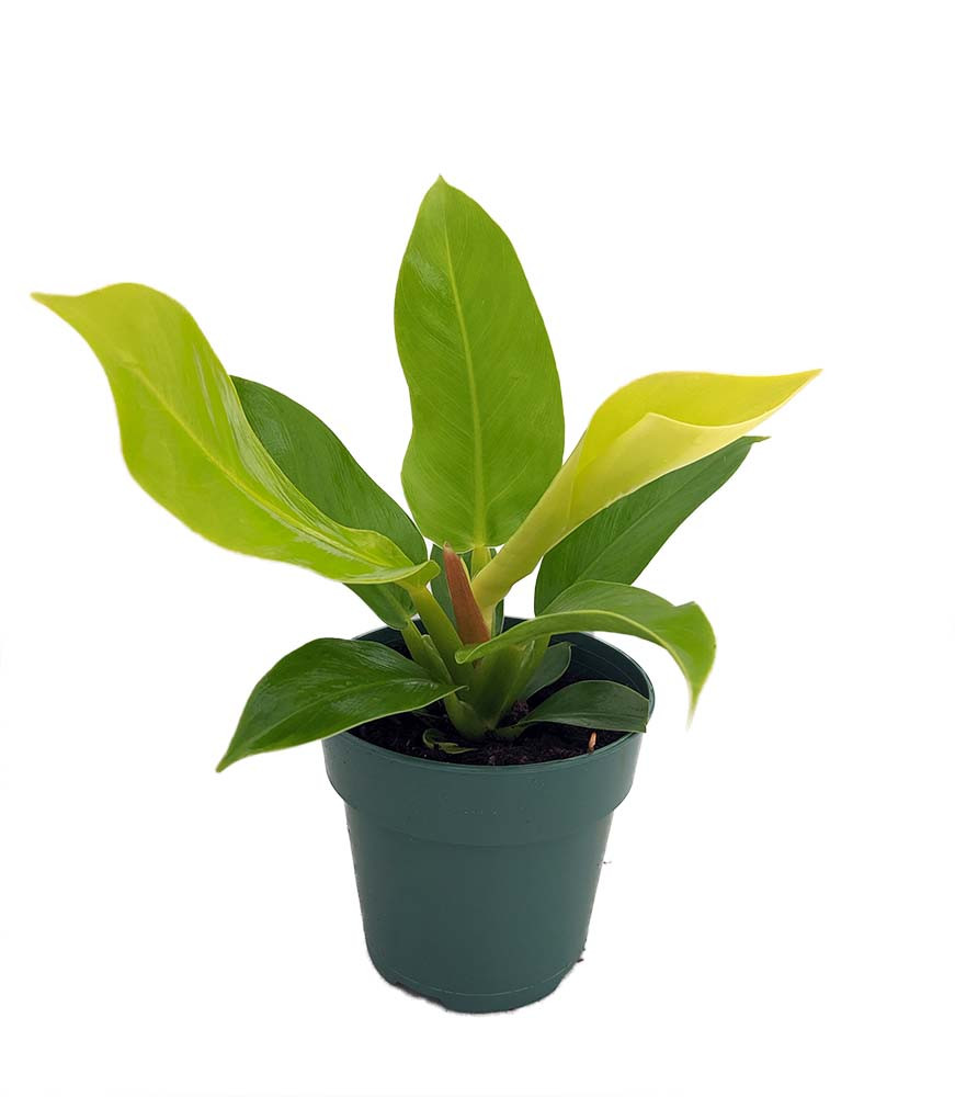 """Moonlight Philodendron - Easy to Grow - 4"""" Pot"""
