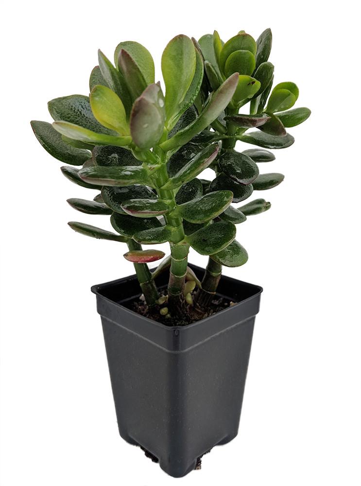 "Baby Jade Tree - Crassula - 2.5"" Pot - Terrarium/Fairy Garden"