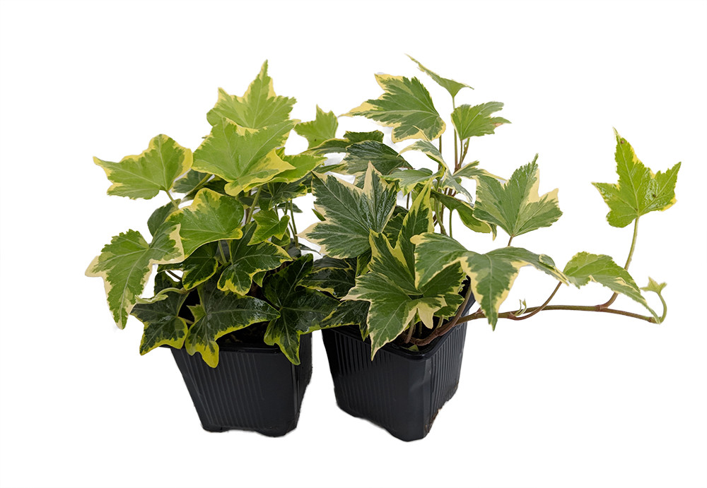 """Gold Child English Ivy - Hardy Groundcover/House Plant -Sun/Shade-2 Pack 3"""" Pots"""