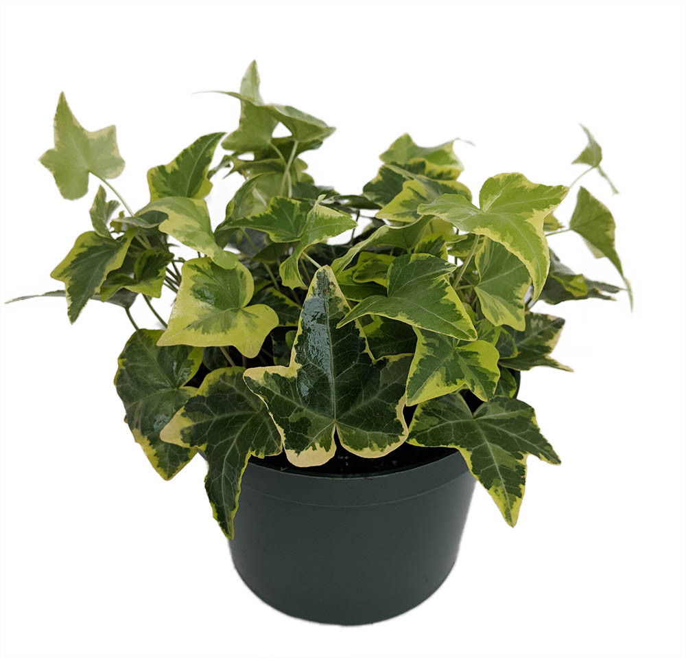 """Gold Child English Ivy - Hardy Groundcover/House Plant - Sun or Shade - 5"""" Pot"""