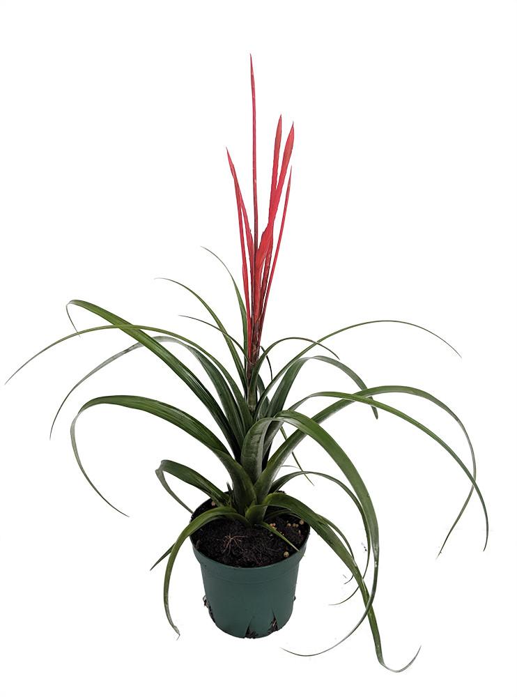 "Spirit Vase Plant - Exotic/Easy - Tillandsia - 4"" Pot"