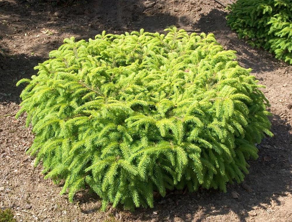Bird's Nest Spruce - Picea abies Nidiformis - Quart Pot