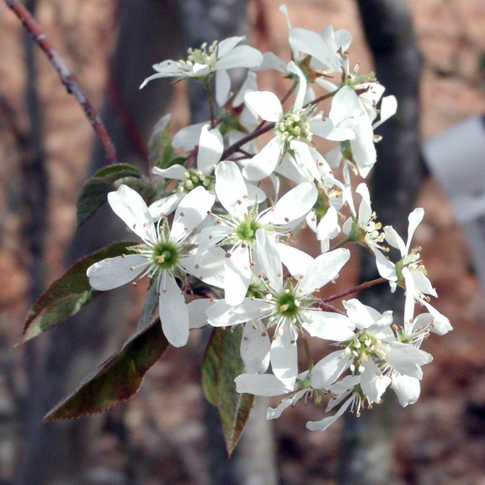 "Rainbow Pillar Serviceberry Tree - Amelanchier canadensis 'Glennform' - 4"" Pot"
