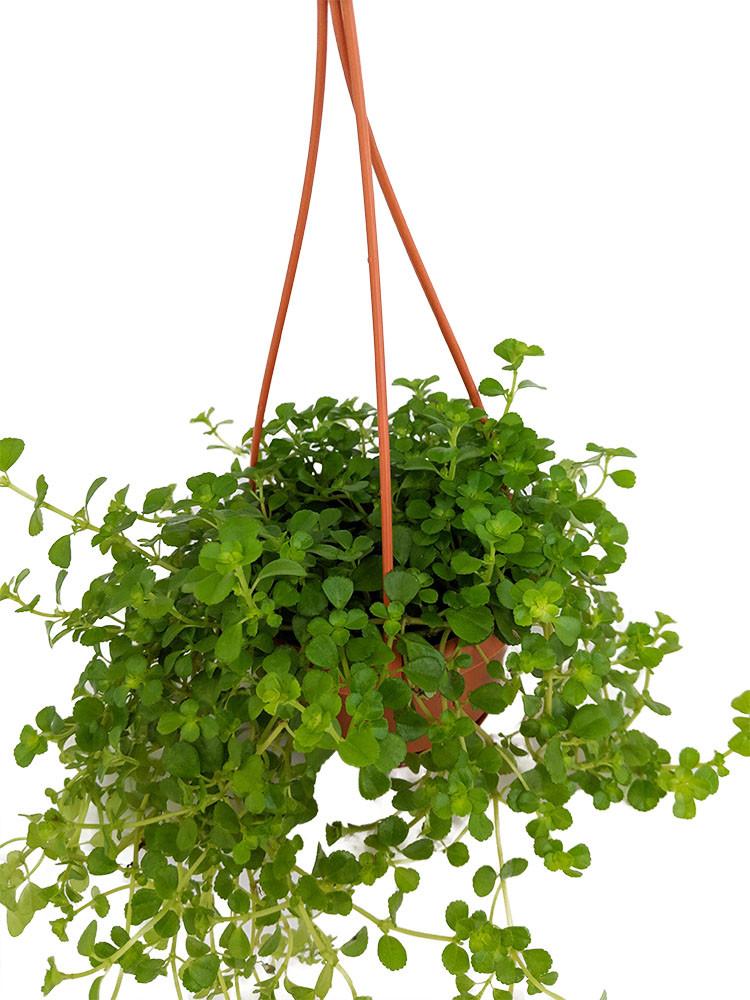 """Lareg Leaf Baby Tears - Pilea depressa - 4"""" Mini Hanging Basket"""