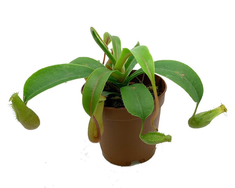 "Asian Pitcher Plant - Nepenthes alata - Carnivorous - Exotic - 2"" Pot"