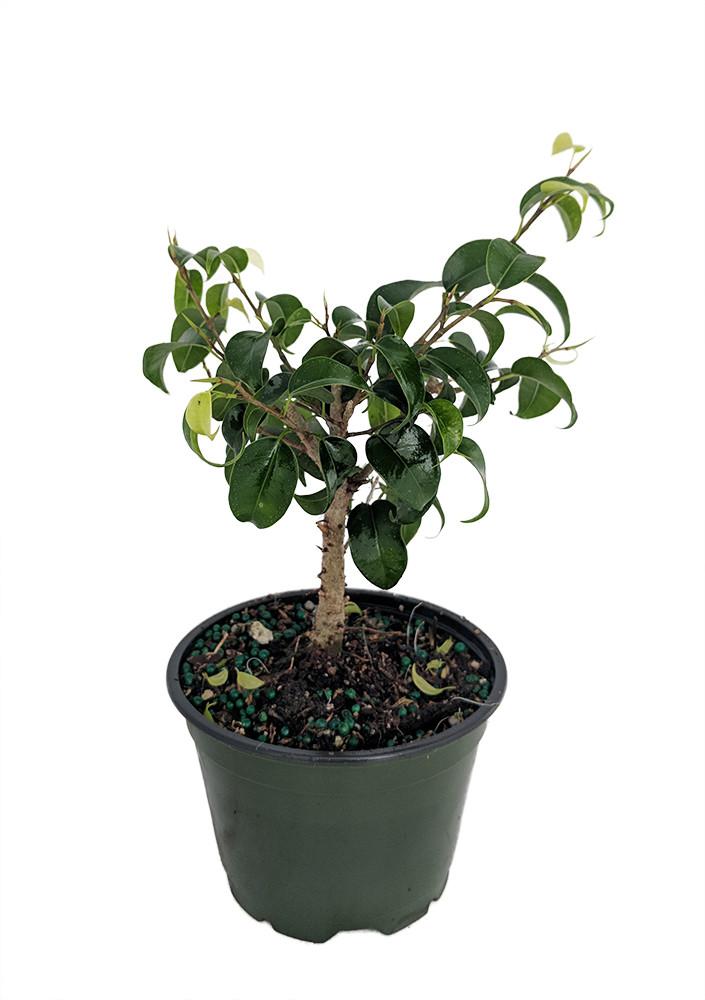 "Too Little Weeping Fig - Ficus benjamina - 4"" pot - House Plant/Bonsai"