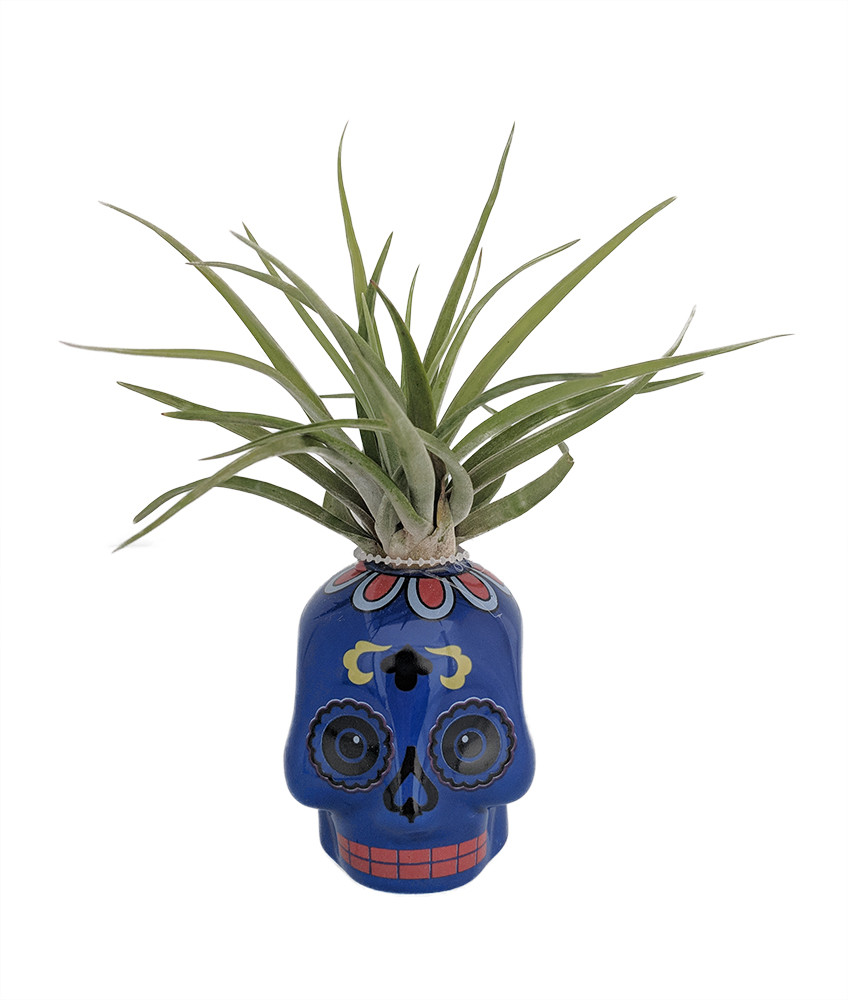"Blue Sugar Skull Planter with Live Tillandsia Air Plant - 3"" x 3"""