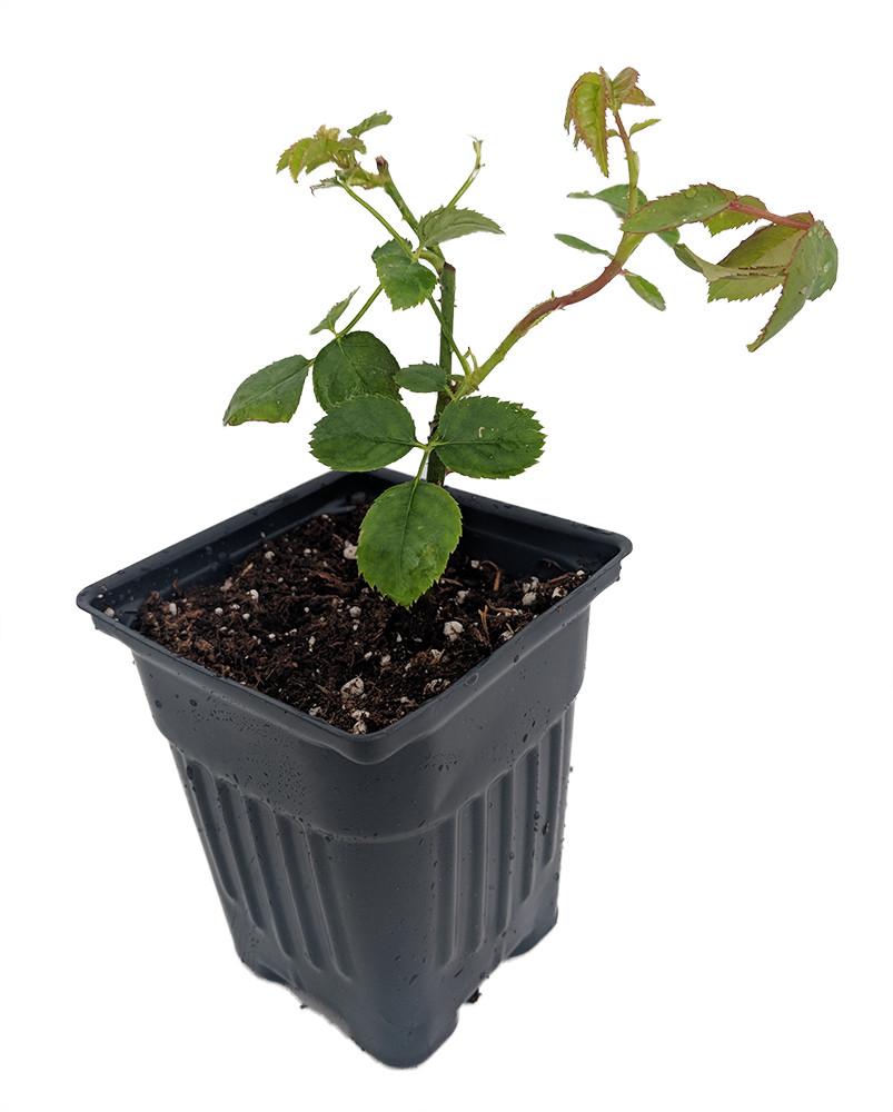 "Brindabella Dawn Shrub Rose - One of the World's Most Fragrant - 4"" Pot"