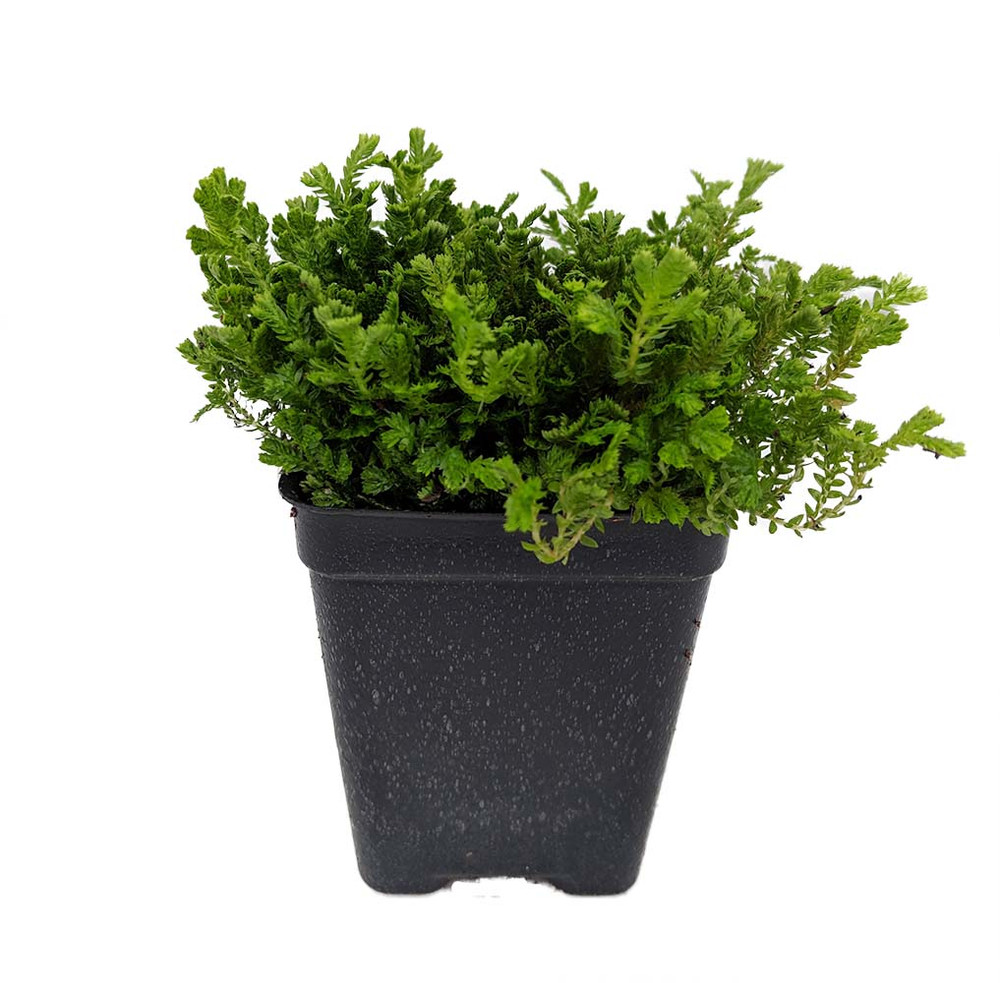 """Green Spikemoss - Selaginella - Terrarium/Fairy Garden- 2.5"""" Pot"""