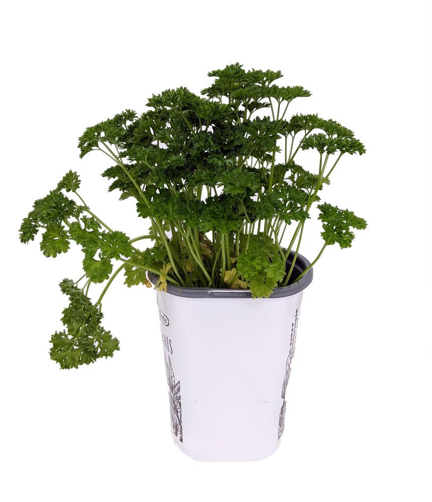 "Curly Leaf Parsley Herb - Petroselinum - Live Plant - 4"" Pot"