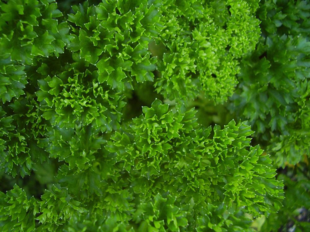 "Curly Leaf Parsley Herb - Petroselinum - Live Plant - 4"""