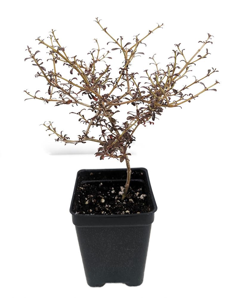 """Coprosma Cappuccino - 2.5"""" Pot - Terrarium/Fairy Garden/House Plant"""